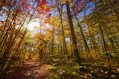 Sun shining through colorful leaves of autumn trees in fall forest and hiking trail at Algonquin Par