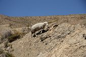 stock photo of the lost sheep  - Sheep climbing the rock in the mountain of Andes