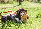 Dachshund And Beagle Playing Together In Grass