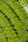 picture of mimosa  - Lines and shadows on Mimosa leaf tree in backlight - JPG