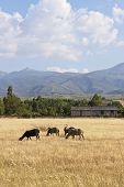 Sheep Flock Grazing