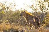 Adult hyena in the early morning sun