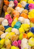 Chickens Colors