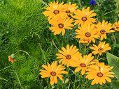 Flower meadow with yellow Cosmea flowers