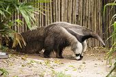 foto of ant-eater  - giant ant eater walking and looking something - JPG