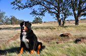 Bernese Mountain Dog in California Chaparral