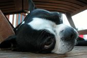 Boston Terrier Nap