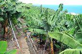 Large banana plantation
