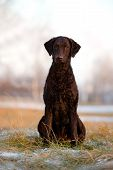 beautiful curly coated retriever dog outdoors
