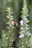 foto of terrestrial animal  - A rosemary  - JPG