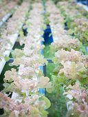 Red Oak Plants On Hydrophonic Farm