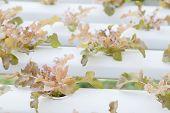 Closeup Red Oak Plants On Hydrophonic Farm