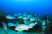 stock photo of school fish  - School of Silver Sweetlips fish underwater - JPG