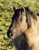 Duelmer wild horse