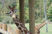 Giraffe Peeks Around Post