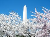 Washington Pink Cherry Blossoms Around The Washington Monument 2010
