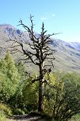 Dry Tree In Mountains