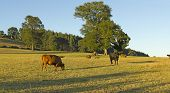 picture of gaucho  - Cows grazing in the fields of southern Chile  - JPG