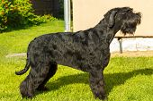 foto of schnauzer  - Black Giant Schnauzer standing on a green lawn in front - JPG