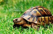 pic of the hare tortoise  - turtle on green grass looking at you - JPG