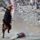 picture of firehose  - view of dog jumping in water from firehose - JPG