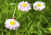 White And Pink Marguerite Flowers In Green Grass