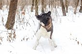 Akita Dog Breed With A Black Muzzle Winter In The Snow