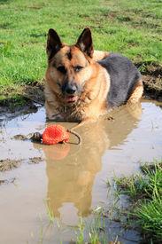 stock photo of wallow  - German Shepherd dog - JPG