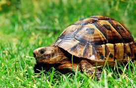 stock photo of the hare tortoise  - turtle on green grass looking at you - JPG