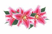 picture of white lily  - Beautiful pink lily isolated on white background - JPG