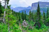 picture of conifers  - mountains and high alpine conifer forest in glacier national park in summer - JPG