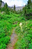 foto of conifers  - abandoned trail in high alpine conifer forest in front of the mountains of the glacier national park in summer - JPG