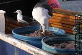 picture of lobster trap  - Seagull stealing a piece of fish used by lobster fishermen to bait their traps - JPG