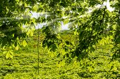 picture of penetration  - Chestnut branches in the spring through which penetrate the sun - JPG