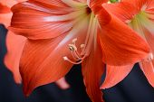 picture of gladiolus  - flowers close up - JPG