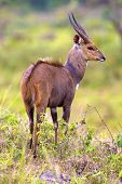 picture of african animals  - East african bushbuck antelope standing in the forests of Arusha in Tanzania - JPG