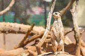 picture of meerkats  - Alert meerkat standing on guard - JPG
