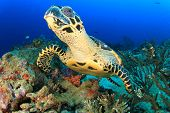 image of hawksbill turtle  - Hawksbill Sea Turtle underwater on ocean coral reef - JPG