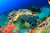 picture of hawksbill turtle  - Hawksbill Sea Turtle underwater on ocean coral reef - JPG