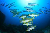 foto of bigeye  - Sweetlips fish and bigeyes - JPG