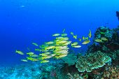 stock photo of red snapper  - Yellow Snapper fish - JPG