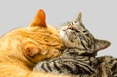 picture of snoopy  - One cat grooming another cat - JPG