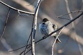 stock photo of chickadee  - Chickadee perched on a tree branch after swimming in a puddle - JPG