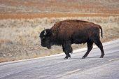 foto of antelope horn  - bison crossing the road on Antelope Island  - JPG