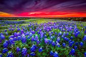 foto of bluebonnets  - Texas pasture filled with bluebonnets at sunset - JPG
