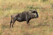 pic of wildebeest  - savanna scenery including a Wildebeest in South Africa - JPG