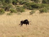 foto of wildebeest  - savanna scenery including a Wildebeest in South Africa - JPG