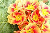 stock photo of primrose  - Primroses in a vase in a public garden of a big city - JPG