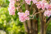 pic of trumpet flower  - Beautiful Pink Trumpet flower or Tabebuia heterophylla - JPG
