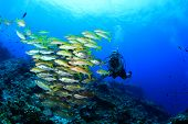 picture of school fish  - Scuba diver and school of fish  - JPG